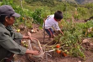 12-01 Quebrada Jemé Gemeindegarten Tomatenernte (1)
